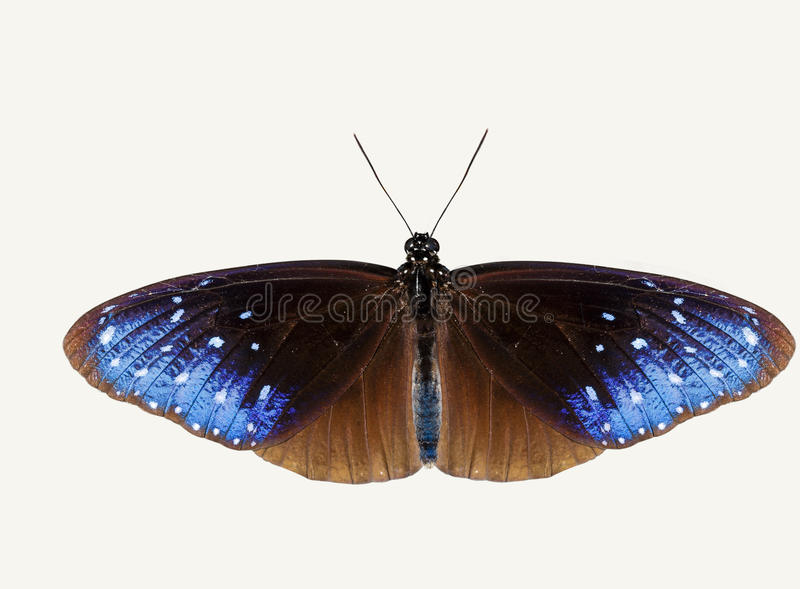 Isolated top view of striped blue crow butterfly stock photo