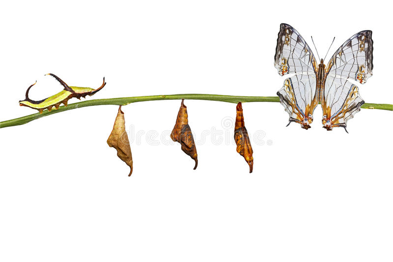 Isolated transformation of common map Cyrestis thyodamas. Butterfly from caterpillar on twig with clipping path royalty free stock photo