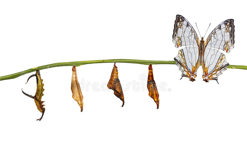 Isolated transformation of common map Cyrestis thyodamas. Butterfly from caterpillar on twig with clipping path royalty free stock photography