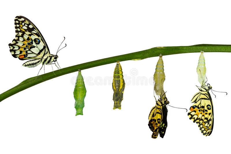 Isolated transformation of Lime Butterfly on white. Isolated transformation of Lime Butterfly ( papilio demoleus ) on white with clipping path stock image