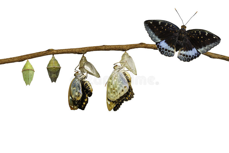 Isolated transformation of Male Common Archduke butterfly emerging from chrysalis ( Lexias pardalis jadeitina ) stock photography