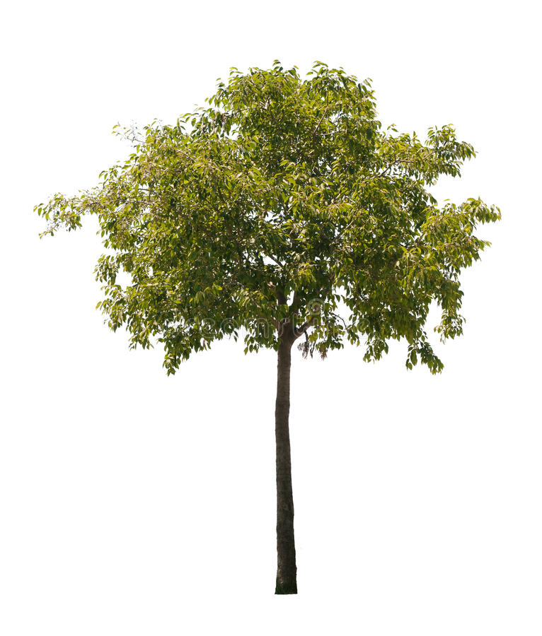 Isolated Tree stock photo