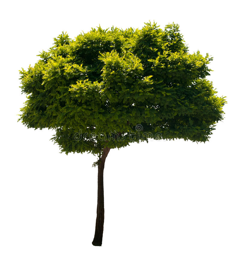 Isolated Tree. Photo of a tree, isolated on white background. PNG file with full transparency is available as additional format royalty free stock photo