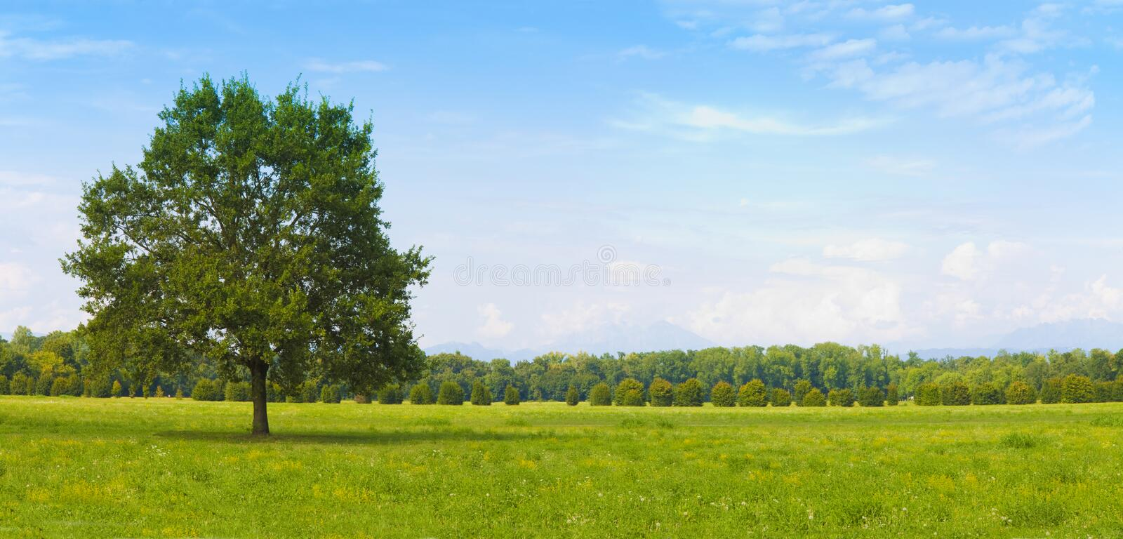 Isolated tree in a green meadow with clear sky - Image with copy space stock images