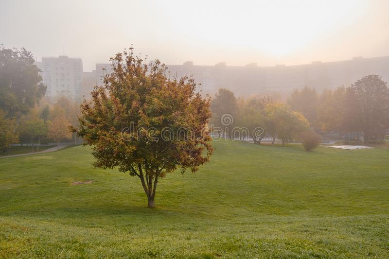 Isolated tree with leaves turning orange in Autumn, on a foggy day, with silhouettes of buildings in the background. Isolated tree with leaves turning orange in royalty free stock photos