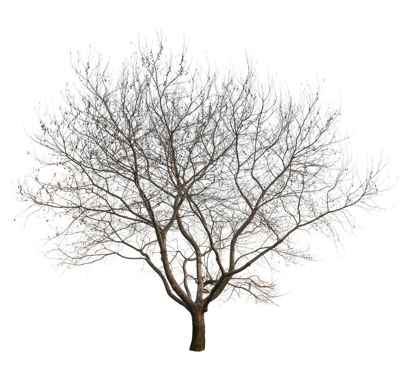 Bare Tree. Photo of a tree at winter season, isolated on white background. PNG file with full transparency is available as additional format