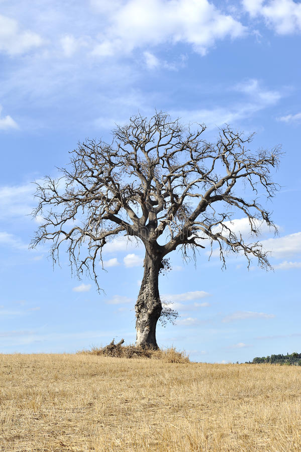 Download Isolated Tree In The Tuscan Countryside Stock Image - Image: 16587061