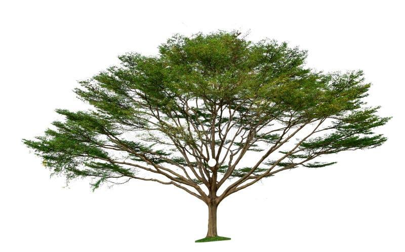 Isolated tree on white background.  royalty free stock photos