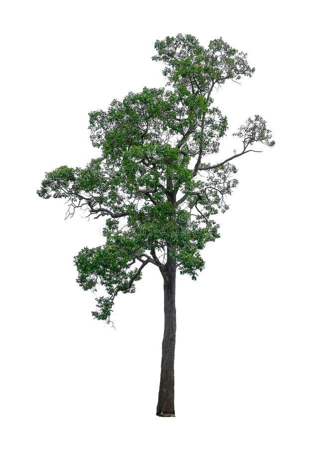 Isolated tree. royalty free stock image