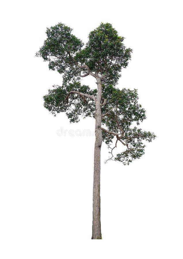 Isolated tree. royalty free stock photography