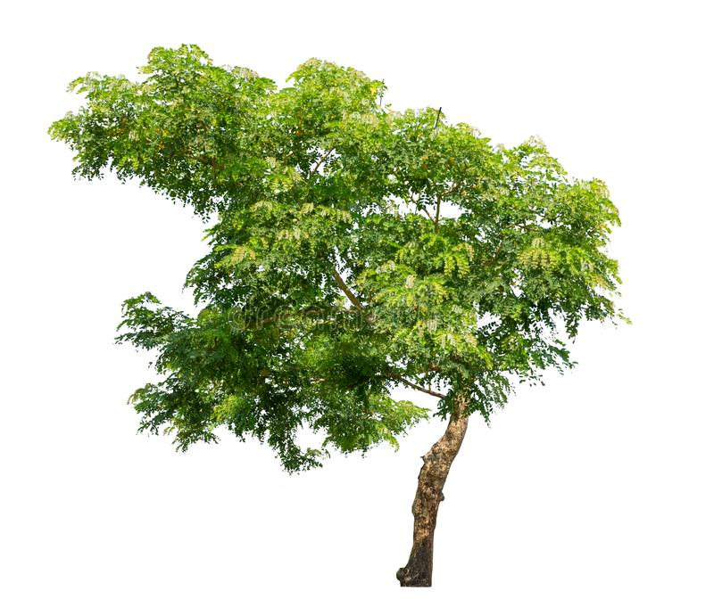 Isolated tree on white background royalty free stock photography