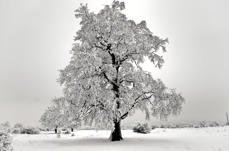Download Isolated Oak Tree In Winter Stock Photo - Image of relaxing, plant: 15557574