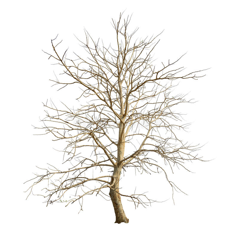 Isolated tree in winter with no leaves on white background royalty free stock image