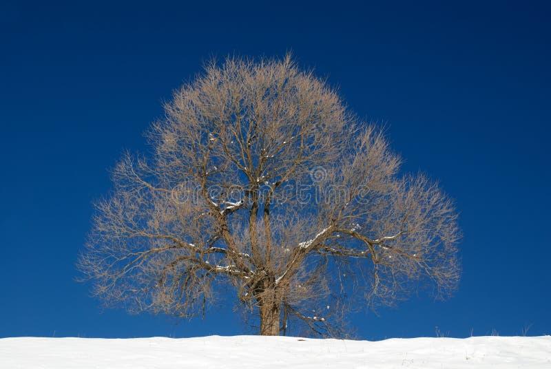 Isolated Tree In Winter Season Royalty Free Stock Photography