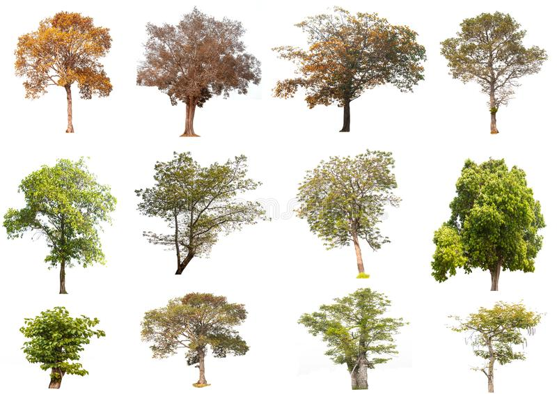 Isolated trees on white background , The collection of trees. stock photography