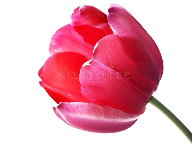 Isolated tulip stock photo