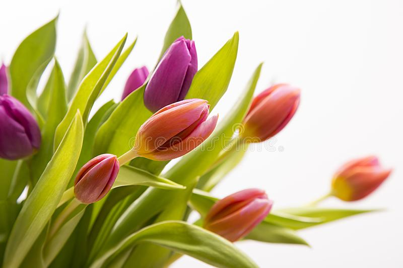 Isolated tulip bouchet for mother day royalty free stock photos