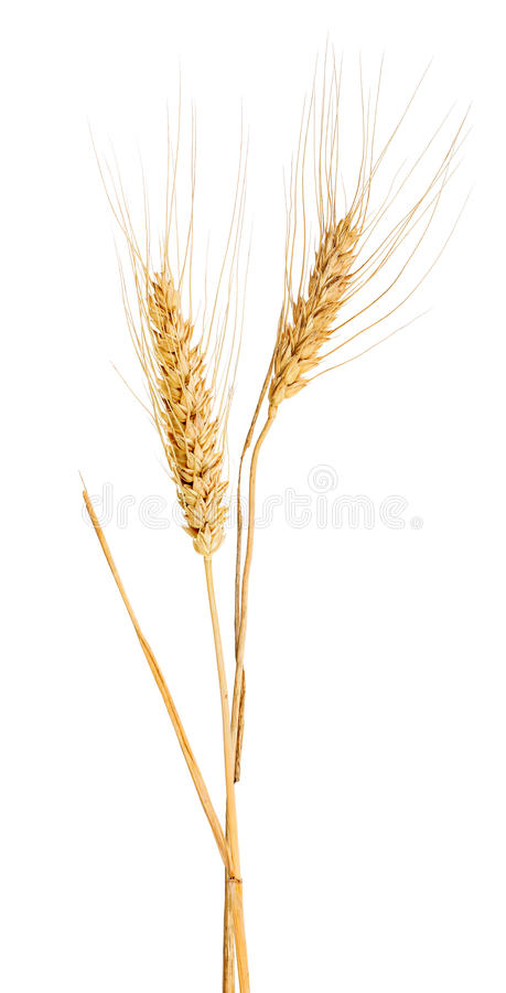 Download Isolated Two Ears Of Gold Wheat With Awns Stock Image