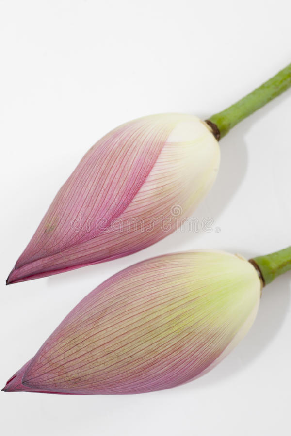 Isolated Two  Lotus Bud Stock Photography