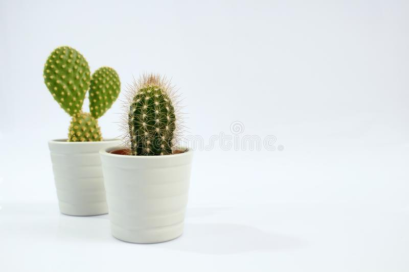 Isolated two small cactus plants with white background. royalty free stock image
