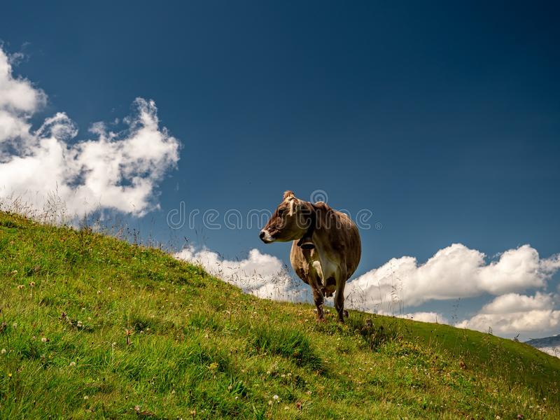 Isolated typical cow picture on a sunny summer day at a swiss farm mountain. Sorenberg royalty free stock image