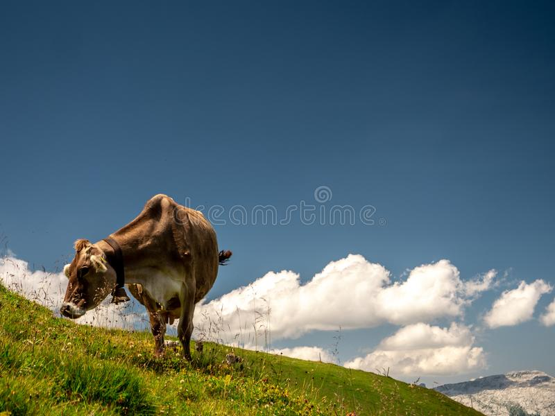 Isolated typical cow picture on a sunny summer day at a swiss farm mountain stock photo