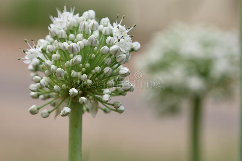 Isolated view of an Onion flower. Close up view of an Onion flower with a wall. Close up view of an Onion flower with a. Close up view of an Onion flower bud stock photo