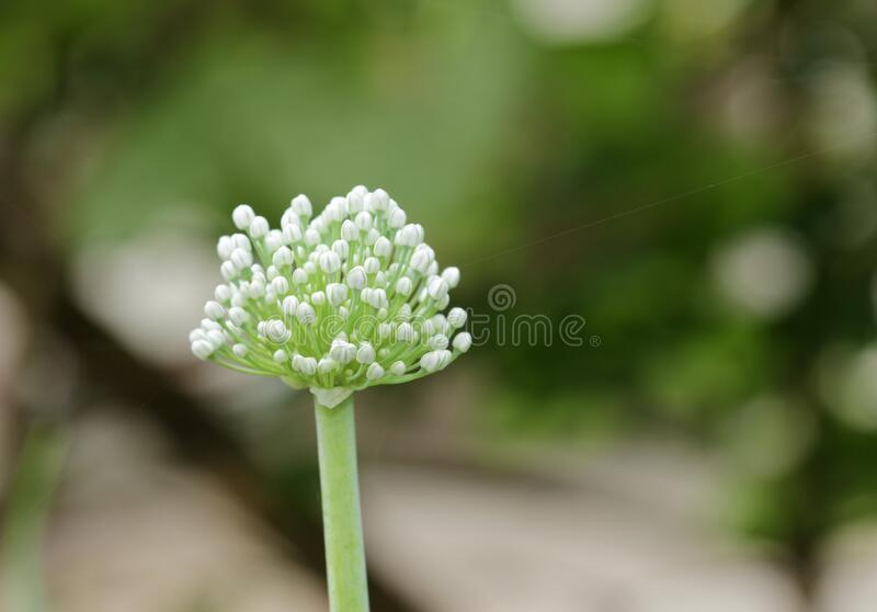 An isolated view of an Onion flower. S. Onion flowers and. Onion flowers and a. Close up view of an Onion flower with a wall. Close up view of an Onion flower stock images