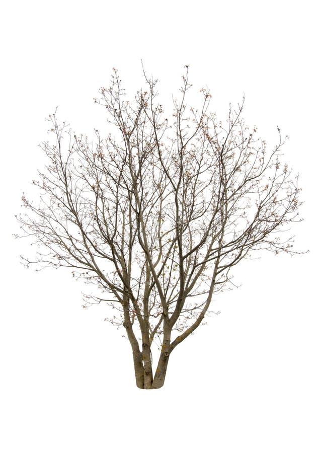 Isolated walnut tree stock images
