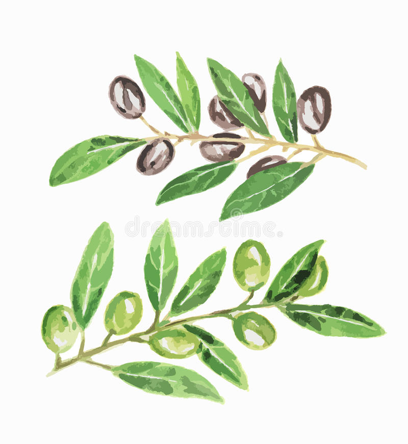 Isolated watercolor olives. stock illustration