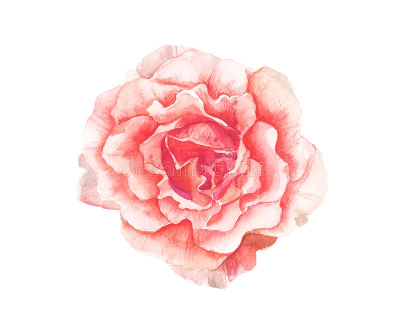 Watercolor pink flower painting on white background stock vector download watercolor pink flower painting on white background stock vector illustration of illustration watercolour mightylinksfo