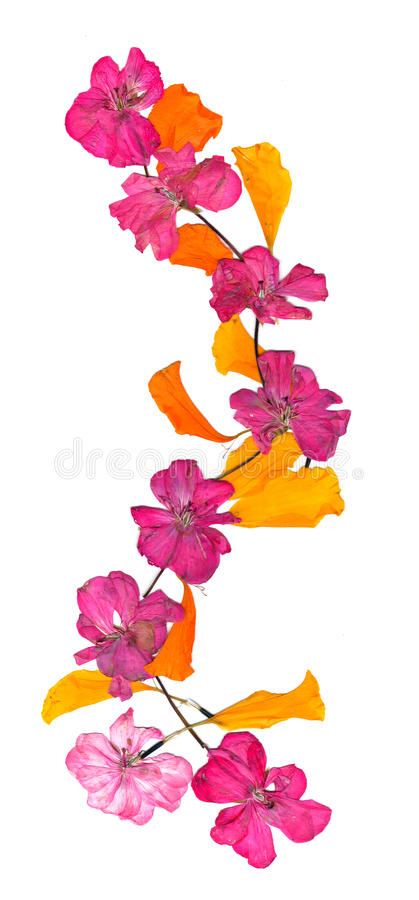Isolated wave line pink geranium, collection of elements application of dried pressing bright flowers. Yellow celandine, set for your design on a white stock photography