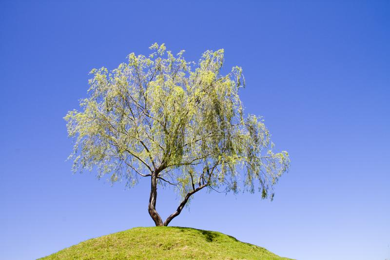 Download Isolated Weeping Willow Tree On A Hill Stock Photo - Image of environment, object: 18069720