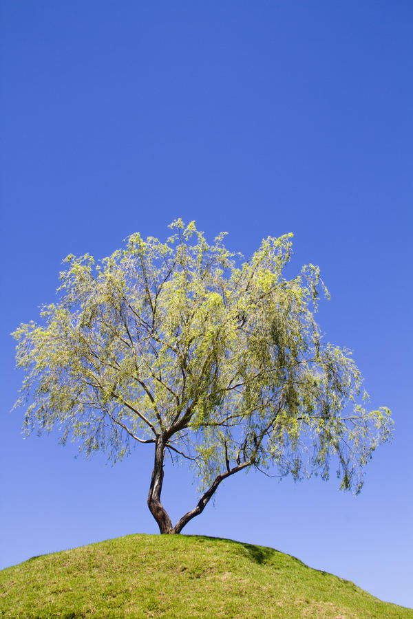 Download Isolated Weeping Willow Tree On A Hill Stock Image - Image: 18069739
