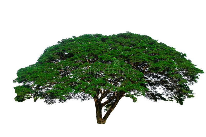 Isolated on white background of big tree used to design or decoration. stock images