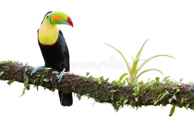 Isolated on white background, famous tropical bird with enormous beak, Keel-billed toucan, Ramphastos sulfuratus, perched on a. Mossy branch. Costa Rican black stock photo