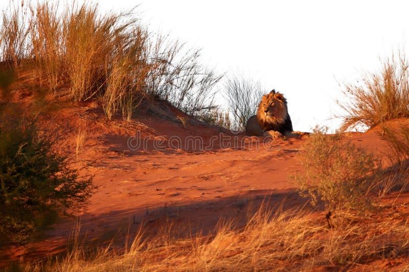 Isolated on white background, Kalahari lion, Panthera leo vernayi, laing on red dune. Big lion male with black mane in typical. Environment of Kalahari desert royalty free stock images