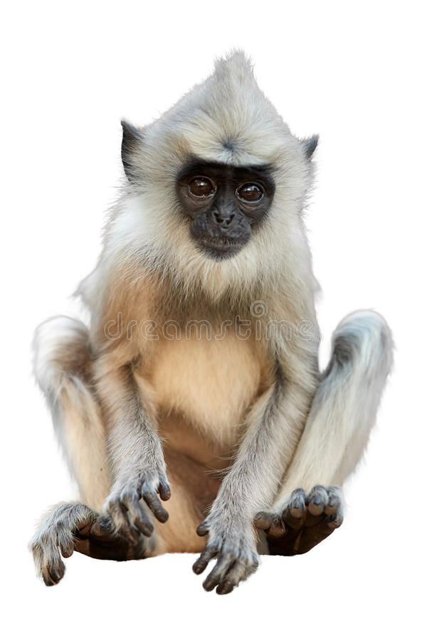 Isolated on white background, langur baby. Isolated on white background, vertical photo of Gray langur, Semnopithecus entellus, close up monkey baby sitting on royalty free stock photo