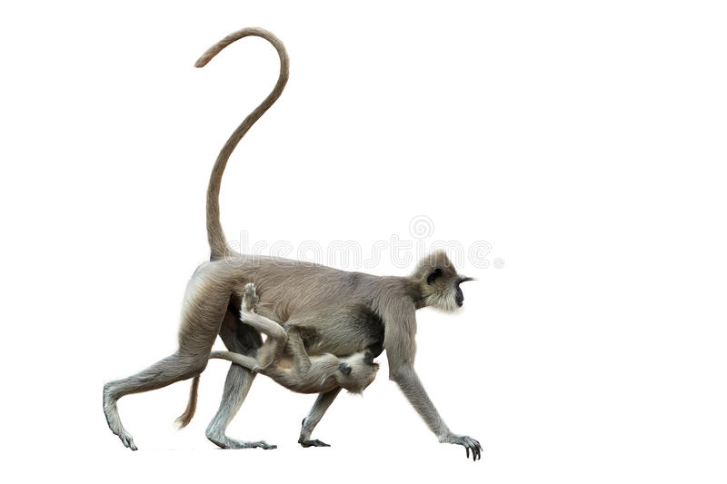 Isolated on white background, mother monkey with baby. Gray langur, Semnopithecus entellus, carrying a baby on her stomach. Anuradhapura, Sri Lanka royalty free stock image