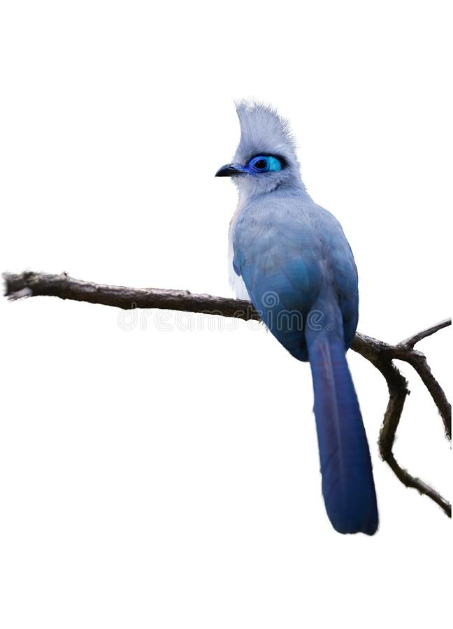 Isolated on white background, very attractive bird, Crested coua, Coua cristata, endemic to Madagascar. Gray and blue colored with. White-tipped purplish-blue royalty free stock image