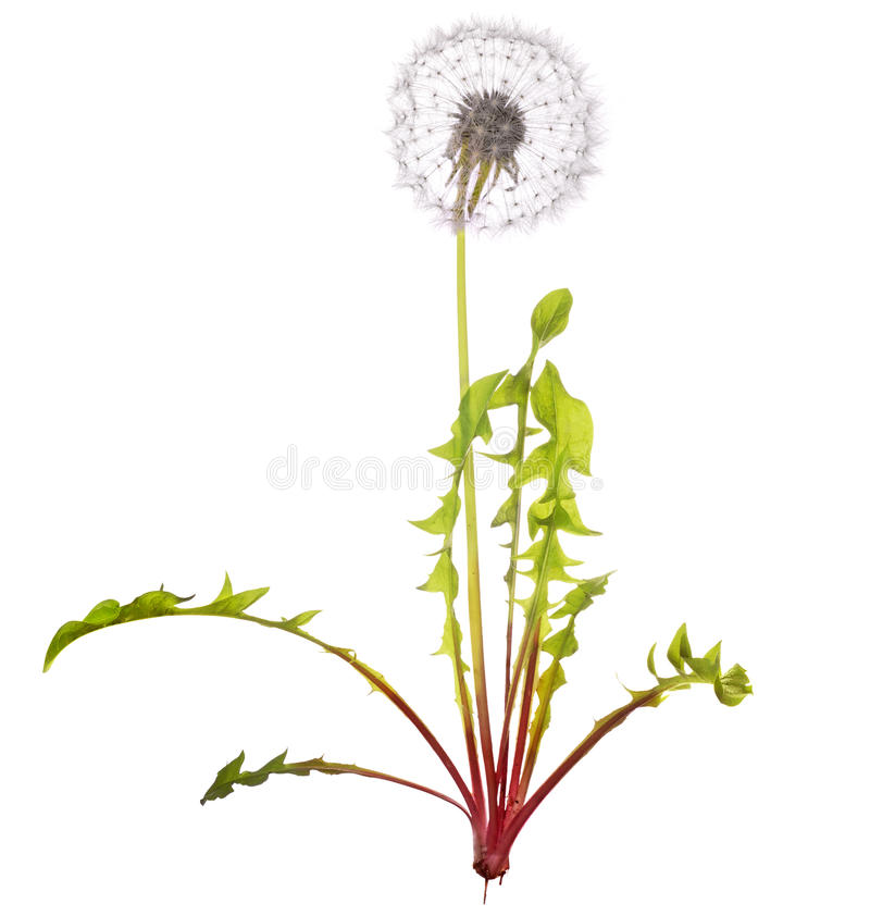 Free Isolated White Dandelion With Leaves Royalty Free Stock Image - 25962016