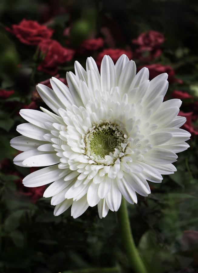 Isolated White Flower HD Image close-up on house garden royalty free stock photos