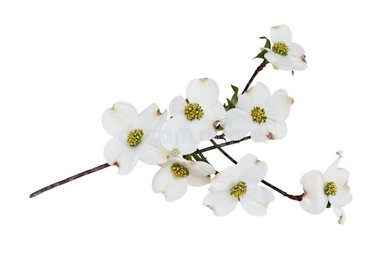Isolated White flowering dogwood tree blossoms stock photography