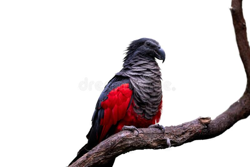 Isolated on white, Pesquet`s parrot, Psittrichas fulgidus, red and black, vulturine parrot, endemic to montane rainforest in New. Guinea. Vulnerable, threatened royalty free stock photography