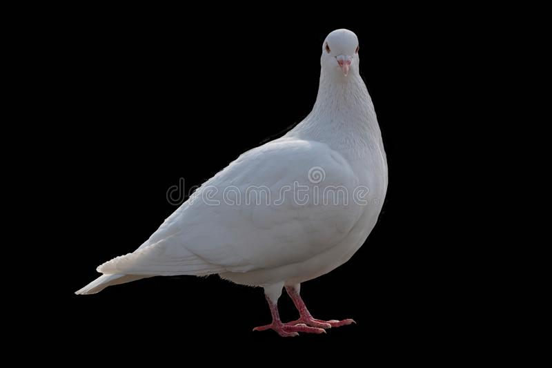 White Pigeon Couple Stock Images - Download 1,387 Royalty