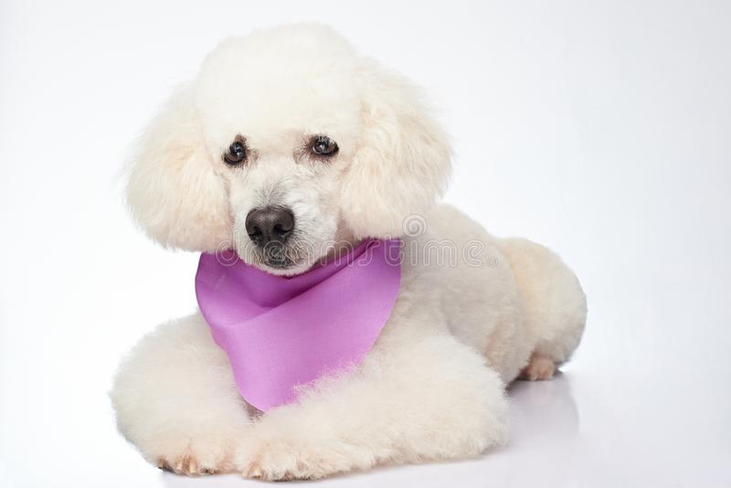 Isolated white poodle dog. Cute groomed poodle dog royalty free stock photography