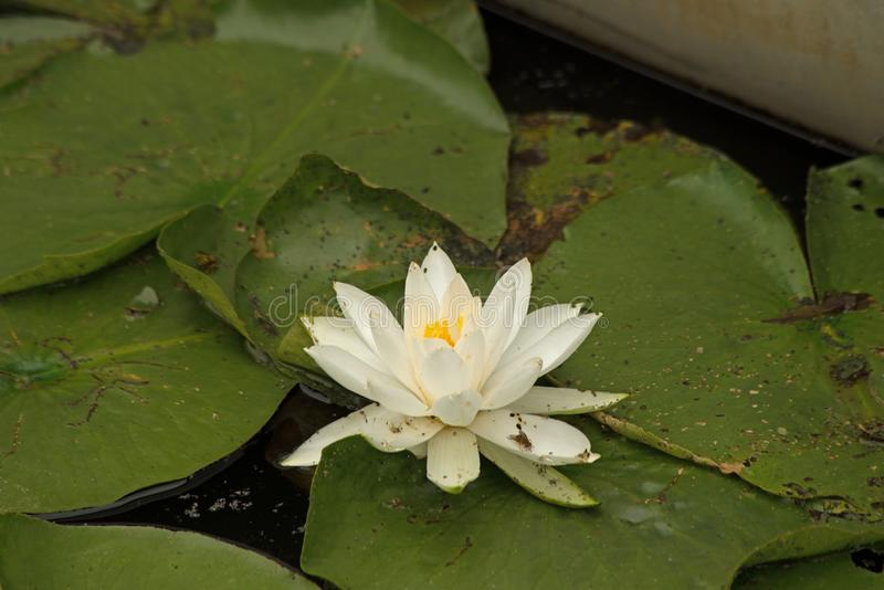 White water lilies. Isolated white water lilies in the sunshine near Linesville Pennsylvania stock photos