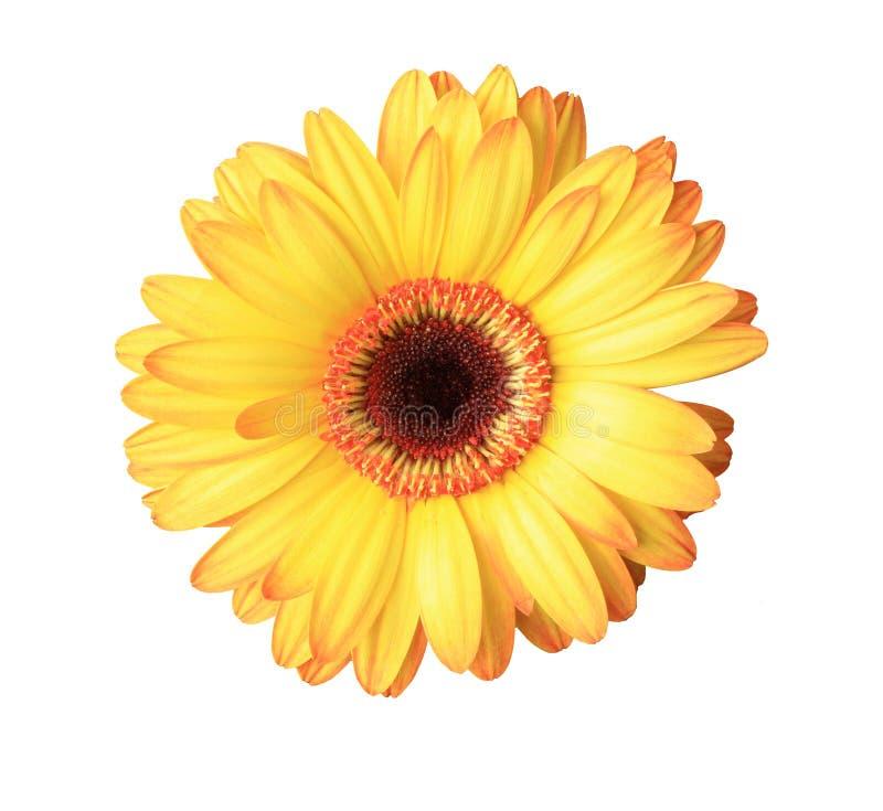 Isolated yellow daisy flower royalty free stock photo