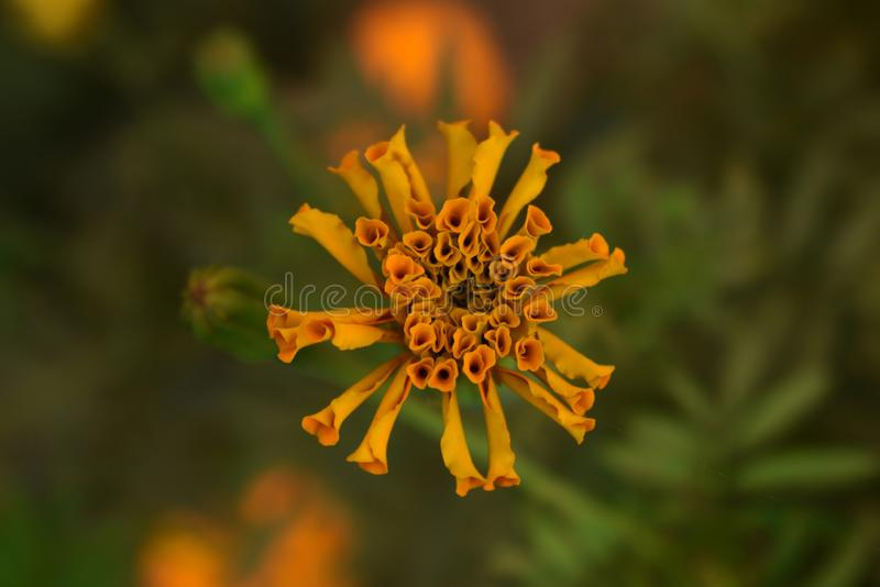 Isolated yellow marigold flower bud in the garden. Its another name is Tagetes royalty free stock images