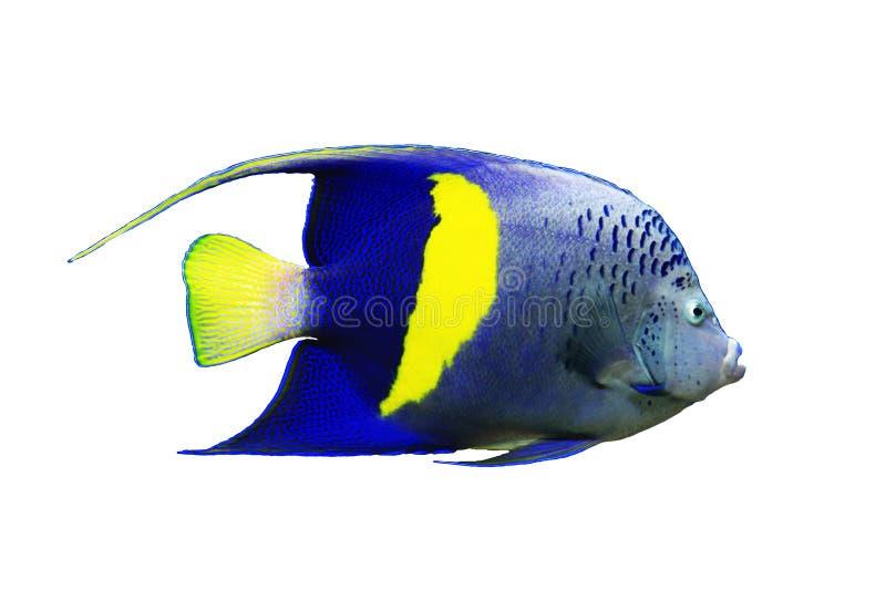 Isolated yellowbar angelfish stock photo